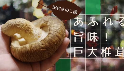 【肉厚で香り高い!】田村きのこ園さんの絶品巨大椎茸【福王しいたけ】